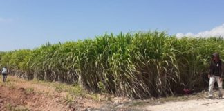 Sugar cane plasma has potential for expansion on 66,000-hectare land outside Java