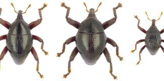 Sulawesi's new insect species named Asterix