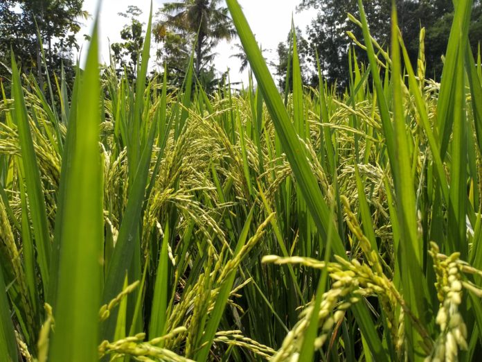 Upland rice developed to stand for drought