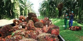 Palm oil Indonesia's future clean energy