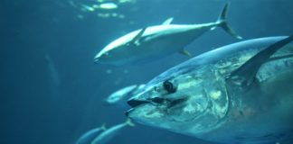 Tuna grows well in southern Java: research