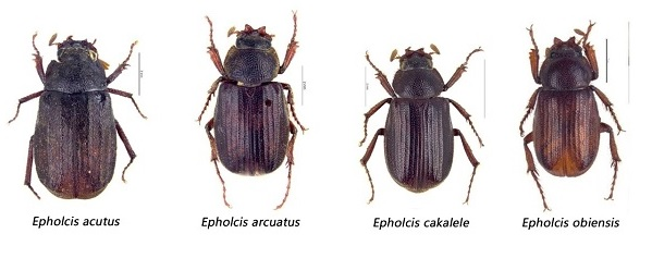 Indonesian researcher discovers new species of beetles in N Maluku